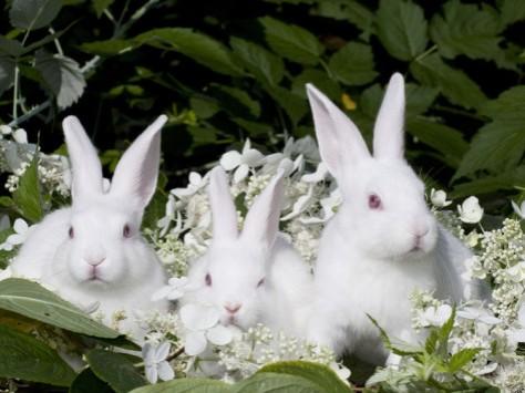 white-rabbits