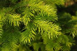 At Russia's Engelhardt Institute of Molecular Biology and the Moscow Physics-Technological Institute, scientists are looking at the effect of Siberian fir terpenoids on cancer and aging cells. Source: Legion Media